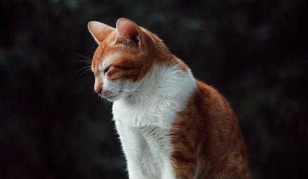 Lys et chats