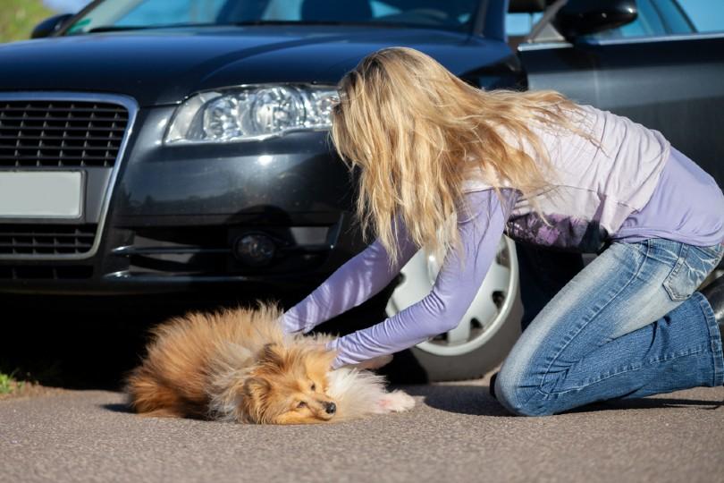 Chien heurté par une voiture?  Voici quoi faire!  (Nos réponses vétérinaires)