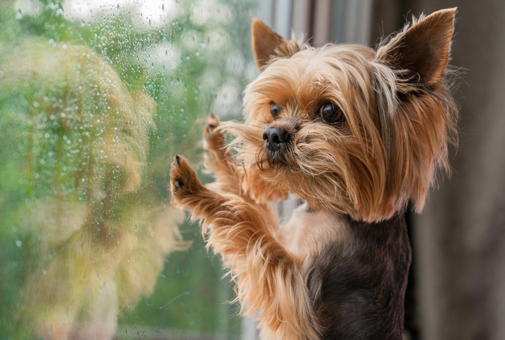 Comment réduire l'anxiété de séparation du chien lorsque vous retournez au travail