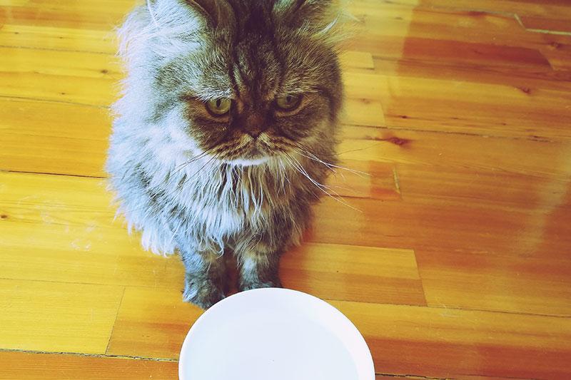 Pourquoi les chats aiment-ils le lait si c'est mauvais pour eux?