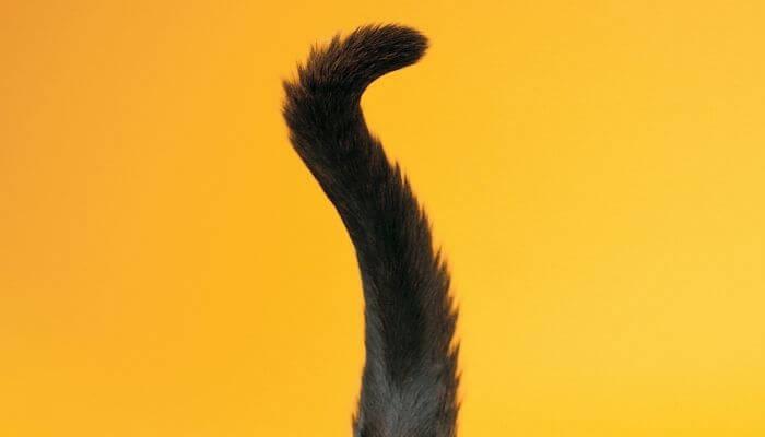 Les chats contrôlent-ils leurs queue?  & Comment font-ils?